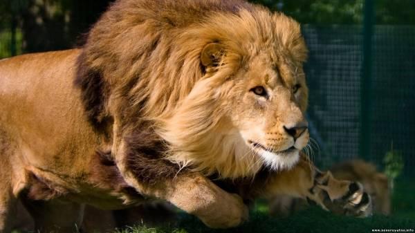 фото царь зверей лев